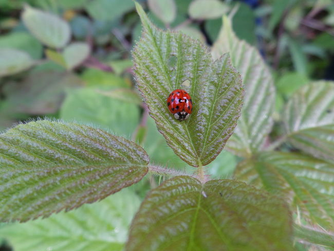 Insect Animals In The Wild Ladybug One Animal Animal Themes Leaf Red Close-up Plant No People Animal Wildlife Day Outdoors Nature Bug Nature Is Art Bugsofeyeem Naturelover Bugslife Nature Photography Beauty In Nature Bug Hunting