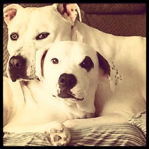 AmericanBulldog Ambull Sarge Lexus Noworries Love Bulldogsofinstagram Dogsofinstagram