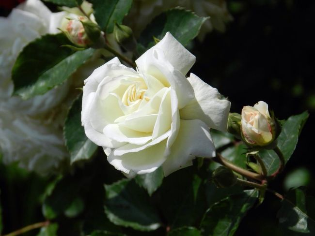 Nofilter Eye4photography  EyeEm Nature Lover Taking Photos Flower Flowering Plant Plant Beauty In Nature Rosé Flower Head Rose - Flower White Color Nature No People