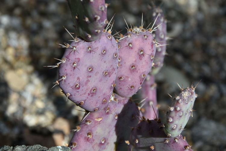 Beauty In Nature Cactus Close-up Danger Day Focus On Foreground Growth Images In Nature Nature No People Outdoors Plant Prickly Pear Cactus Purple Purple Heart Sharp Spiked Thorn