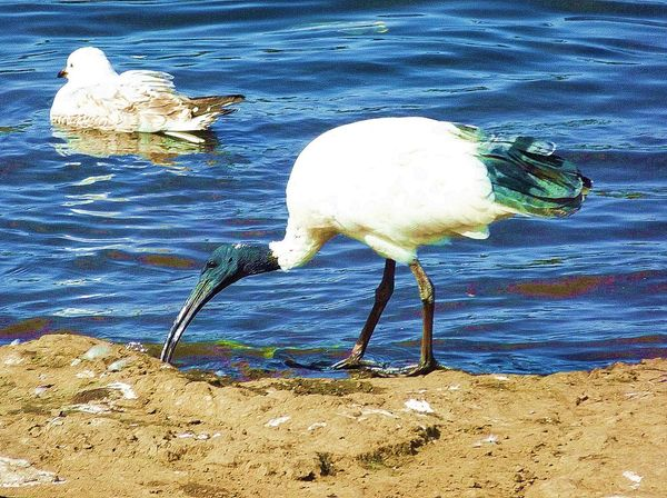 Seagull and Ibis. Bird Photography Birds At The Park Water