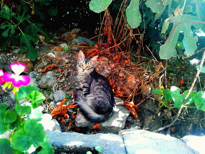 Cat Cat♡ Gray Cat Cats 🐱 Yellow Eyes Shining Eyes Gray And White Cat Black Strips Flowers Pink Flower 🌸 Plants 🌱 Twigs Rocks Leaf 🍂 Colorful Leaves Fig Leaf Pebbles Colorful Pebbles