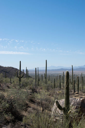 Arizona Cactus Desert Saguaro National Park Arid Climate Beauty In Nature Day Field Grass Growth Landscape Nature No People Non-urban Scene Outdoors Saguaro Saguaro Cactus Scenics Sky Tranquil Scene Tranquility Wooden Post