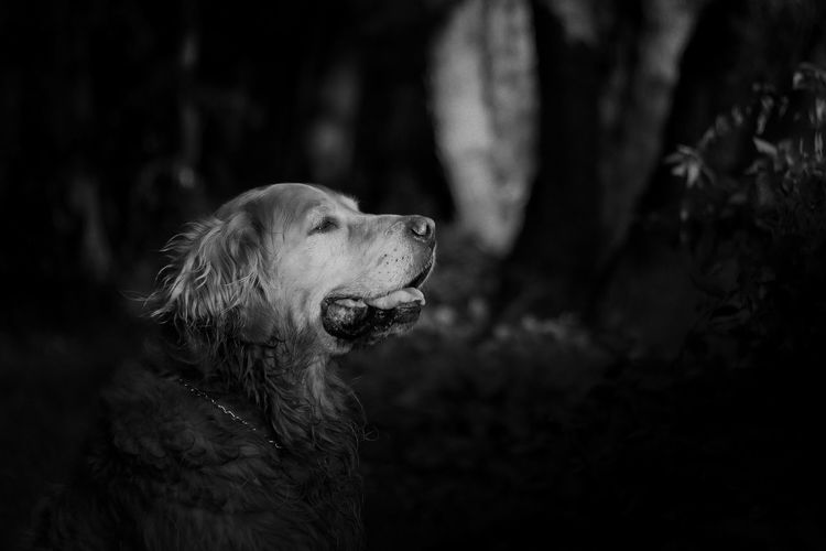 Sleep tight my dearest friend. I will carry you in my heart, love you always ❤️ Roki 2.5.2008-19.1.2019 💛 Dog Canine Retriever Pets Looking Away Close-up