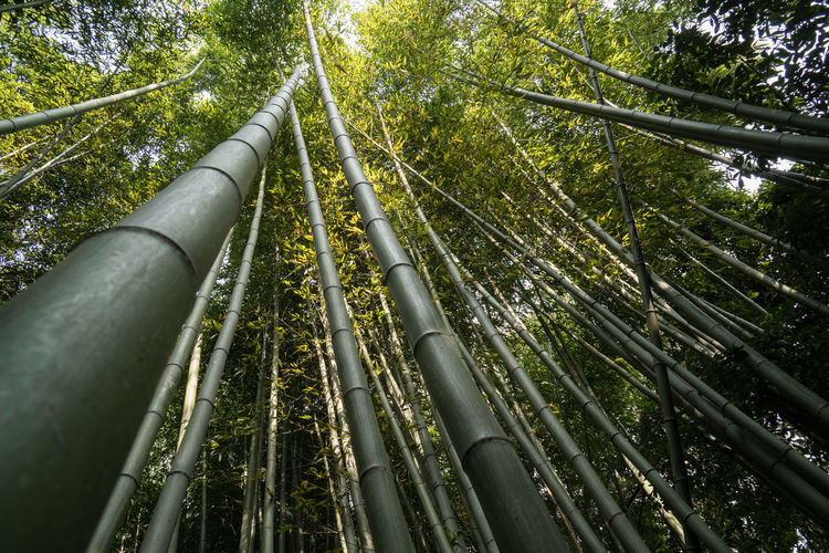 Low Angle View Of Bamboo Grove