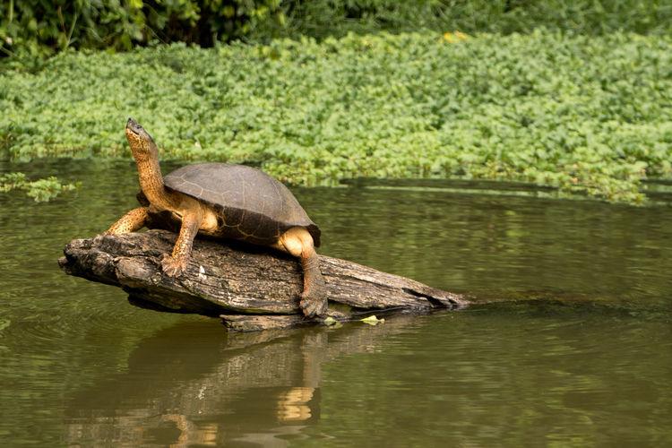 Costa Rica Animal Themes Animal Wildlife Animals In The Wild Nature One Animal Tortuguero  Turtle Water