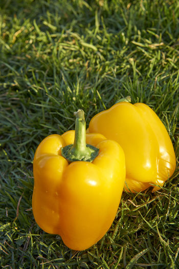 Bell Pepper Close-up Day Field Food Food And Drink Freshness Grass Green Color Growth Healthy Eating Land Nature No People Outdoors Pepper Plant Vegetable Wellbeing Yellow Yellow Bell Pepper
