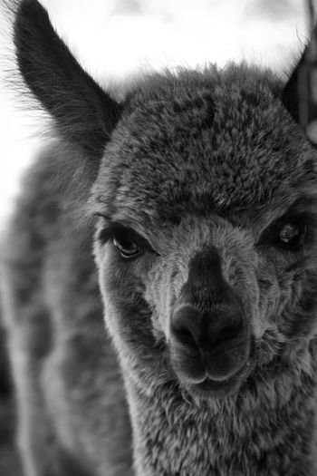 Cria Alpaca One Animal Animal Animal Themes Mammal Domestic Animals Pets Domestic Close-up Animal Body Part Animal Head  Portrait Looking At Camera No People Focus On Foreground