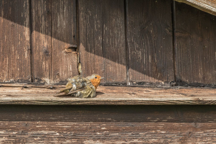 Close-up of bird on wood against wall