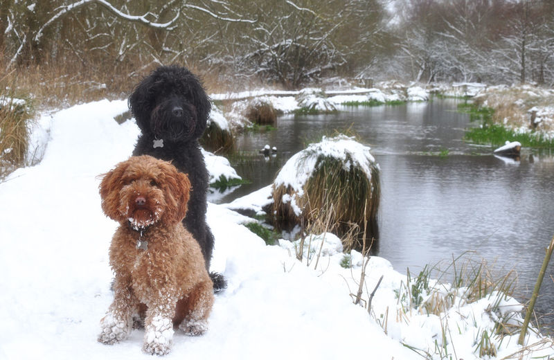 Labradoodle and cockapoo posing in the snow