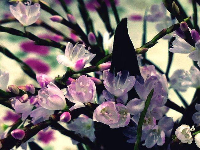 サクラタデ 桜蓼 Polygonum Conspicua 田んぼのあぜ道 秋の花 Autumnbeauty 見っけ ❤︎〰︎♬