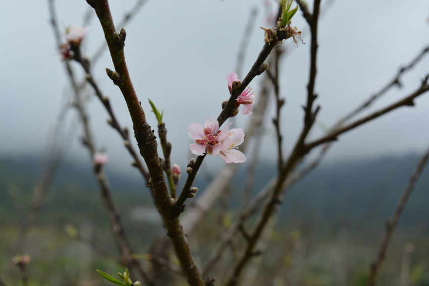 Flower Nature Pink Color Outdoors Tree Day Winter No People Branch Beauty In Nature Fragility Close-up Flower Head