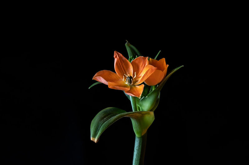 Close-up of orange rose against black background