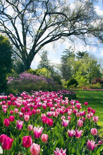 Tulips ] Washington, D. C. Tulips Spring