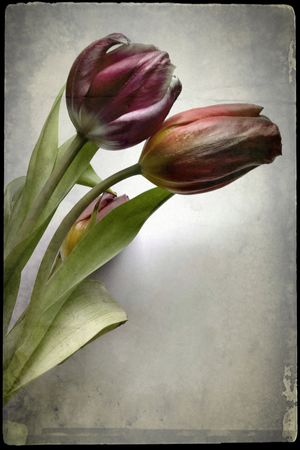 Two tulips Still Life Photography Still Life Flower Arrangements Blossoms  Tulips Flower Freshness Nature Fragility Petal Beauty In Nature Growth Plant Leaf Flower Head Blooming