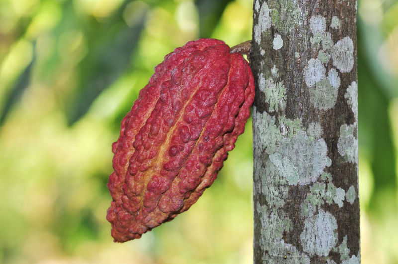 cacao fruits on tree Focus On Foreground Close-up Tree Plant Growth Trunk Tree Trunk Nature Day No People Textured  Beauty In Nature Freshness Outdoors Pattern Land Red Natural Pattern Food Green Color