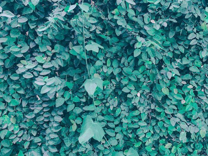 Full frame shot of ivy on field