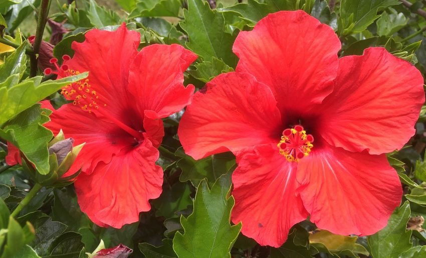 In the twilight sun these brilliant-hued hibiscus . . . Shining bright Hibiscus 🌺 Red Grown by Me Beauty In Nature Petal Freshness Tropical Flowers Pacific Impressions Vibrant Color Hibiscus Growth Green Rosa Sinensis Botany