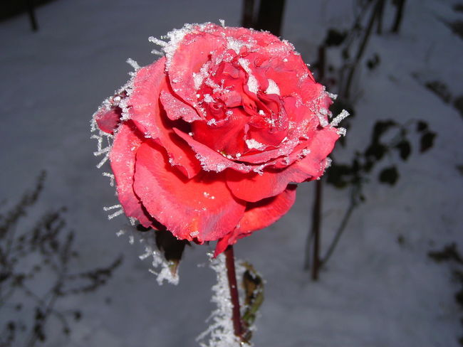 rose Flower Flower Head Frosty Rose Nature Rose - Flower Beauty In Nature Blooming