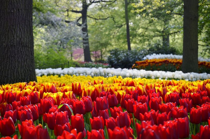 Colorful Tulips Blooming Against Trees