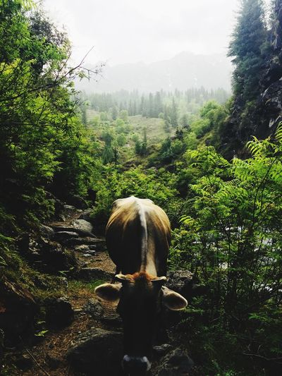 Cow from a magical land Tree Plant Nature Sky Day Growth Green Color Landscape Beauty In Nature Lifestyles One Person Transparent Tranquility Land Outdoors Rear View Real People Glasses Forest