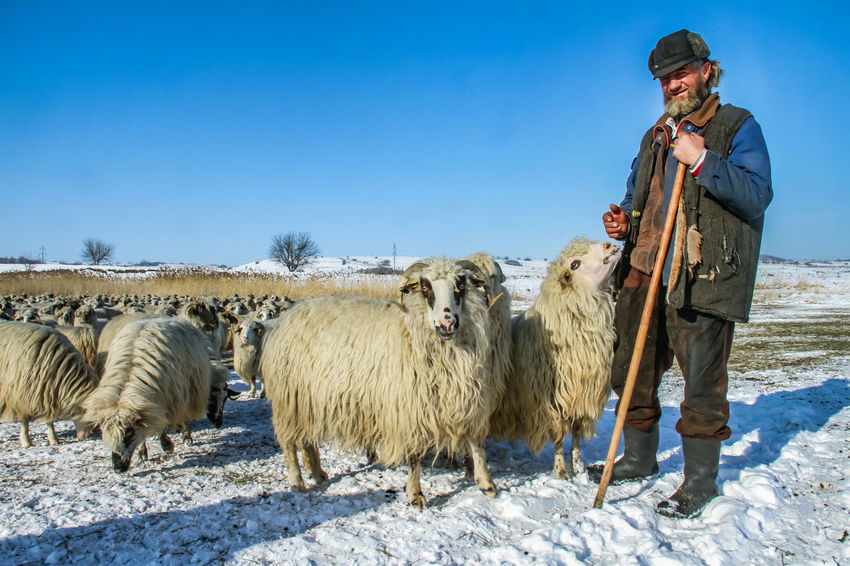 Shepherd Of The Sheep Adult Agriculture Animal Themes Beauty In Nature Cold Temperature Cow Domestic Animals Full Length Large Group Of Animals Livestock Mammal Mature Adult Nature One Man Only One Person Outdoors Rural Scene Sheeps Sky Snow Standing Winter