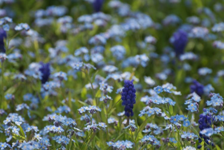 Forget-me-nots and grape hyacinth in the spring garden. Grape Hyacinth Forget Me Not Flowering Plant Flower Plant Freshness Fragility Vulnerability  Beauty In Nature Growth Petal Field Flower Head Nature Close-up Land Inflorescence No People Selective Focus Purple Outdoors Flowering Plant Plant Beauty In Nature Freshness Growth Vulnerability  Field Land Nature