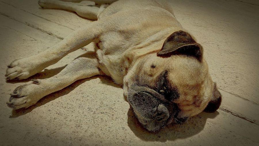 Max the Pug 🐶 No People Close-up Day Animal Themes Pug Bañodesol LavaStarPlus First Eyeem Photo