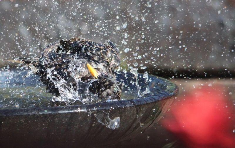Starling Water Splashing Motion Nature Drop No People Outdoors
