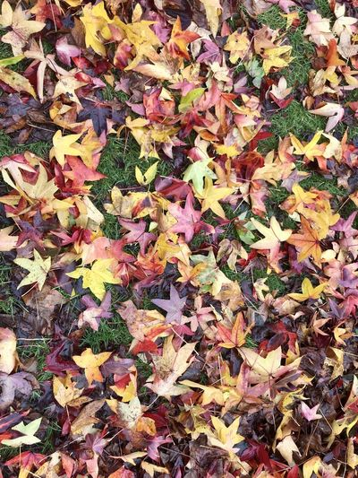 High angle view of maple leaves
