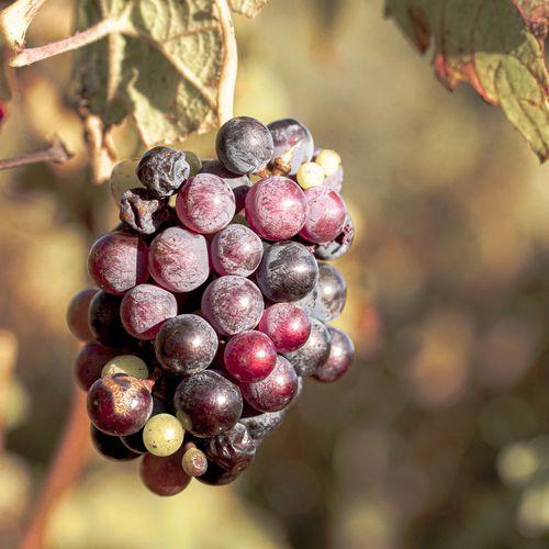 Close-up of grapes