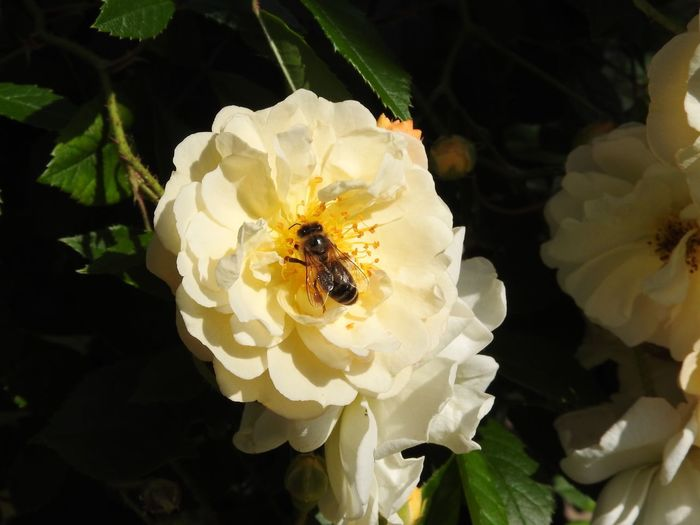 Bee on a cream coloured Rose blossom Rose - Flower Flower Flowering Plant Invertebrate Insect Petal Beauty In Nature Animals In The Wild Bee Flower Head Freshness Plant Fragility Inflorescence Close-up