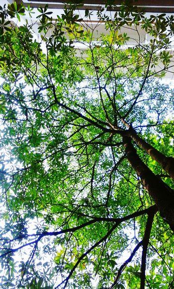 Green Green Green!  Enjoying Life Tree Check This Out Sun Cây Hoa Sữa Sự Phạm 2 giảng đường C🍁🌱🌿🌞 Check This Out