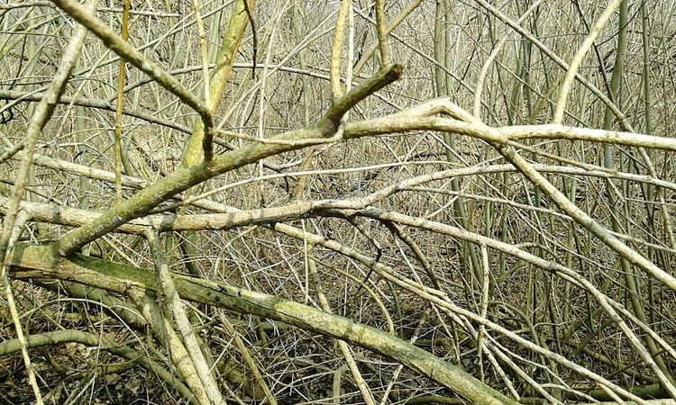 Forest twigs Bush Plants No People Forest Woods Bare Trees Branches Nature Dense Twigs Chaos Natural Beauty Abstract Multitude Pattern Natural Impenetrable