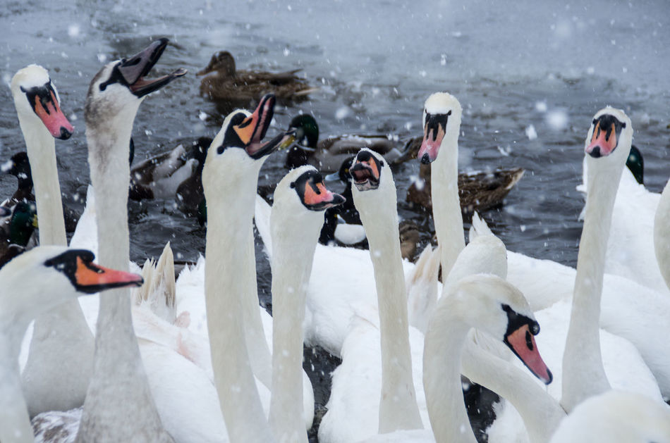 Snowday! I had to run out with the camera. Feeding  Glasgow  Scotland Swans Swans ❤ Victoria Park Animal Themes Animal Wildlife Animals In The Wild Bird Birds Day Lake Large Group Of Animals Nature Necks No People Outdoors Sky Snow Swan Water White Color