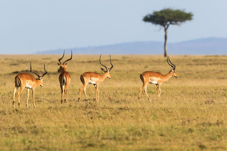Impala antelope that walking on the grassland