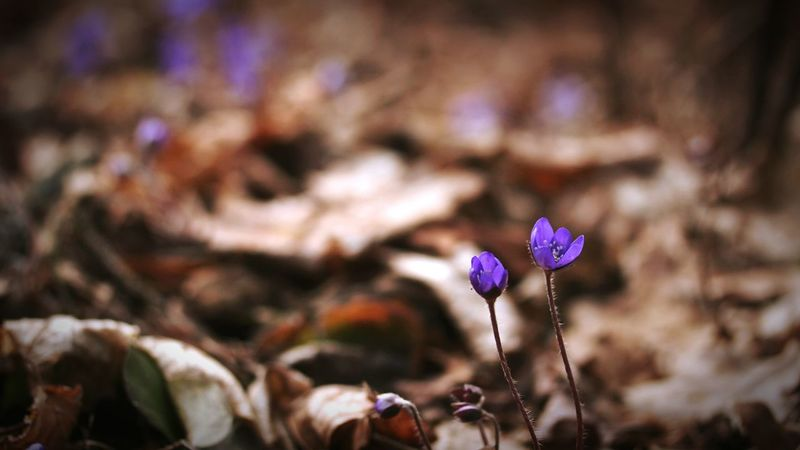 Blue Lilies In The Forest 🌳🌲🌾 Springtime Beauty In Nature Fragility Outdoors Nature Flower