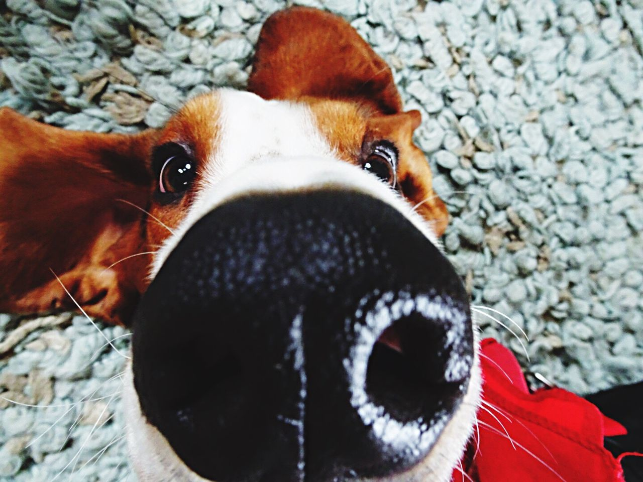 domestic animals, one animal, animal themes, dog, pets, mammal, looking at camera, portrait, animal head, close-up, no people, day, indoors