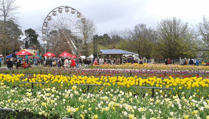 Ferris Wheel at Floriade Canberra Australia Abundance Beauty In Nature Blooming Blossom Cloud - Sky Day Ferris Wheel Field Floriade Canberra Flower Fragility Freshness Growth In Bloom Landscape Multi Colored Nature Outdoors Plant Sky Spring Tranquility Tree Tulips Yellow