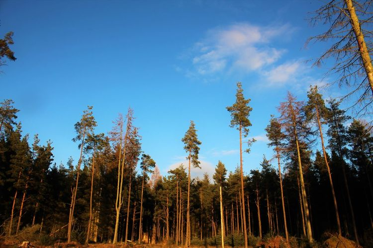 Low angle view of trees in forest against blue sky