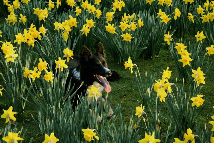 Border Collie Sitting In Daffodils Field