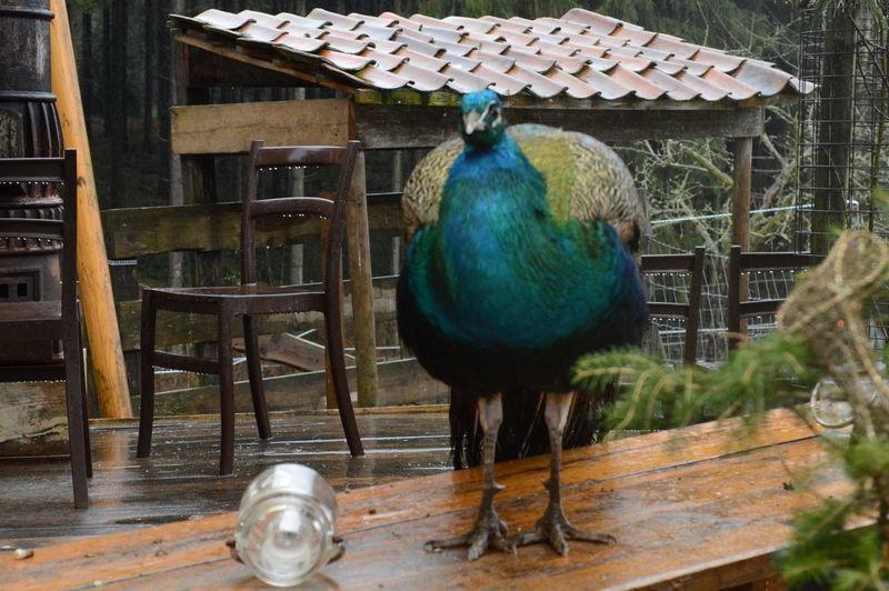 Animal Themes Bird Birds Male Model No People One Animal Peacock Peafowl Regen