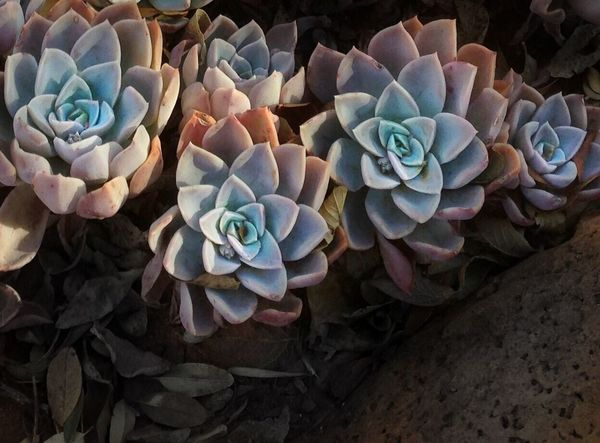 Colorful succulents growing freely. Succulents Plants Desert No People Close-up Spray Hen And Chicks
