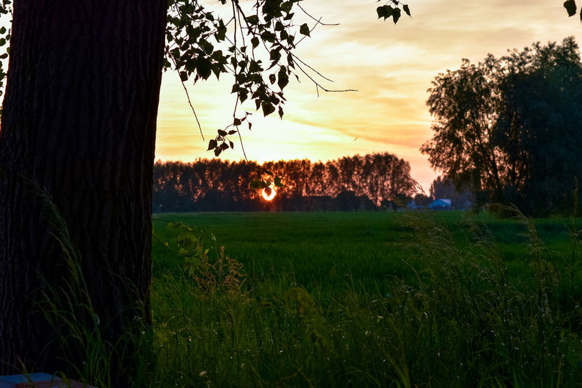 Sunset behind the trees Agriculture Animal Themes Beauty In Nature Day Field Grass Growth Landscape Nature No People Outdoors Plant Rice Paddy Rural Scene Scenics Sky Sunset The Great Outdoors - 2017 EyeEm Awards Tranquil Scene Tranquility Tree
