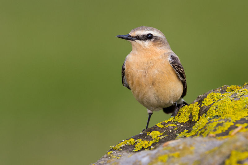 Northern Wheatear Collalba Gris Northern Wheatear Oenanthe Oenanthe Steinschmätzer Traquet Motteux Animal Themes Animal Wildlife Animals In The Wild Beauty In Nature Bird Close-up Day Nature No People One Animal Outdoors Perching Songbird  Wheatear
