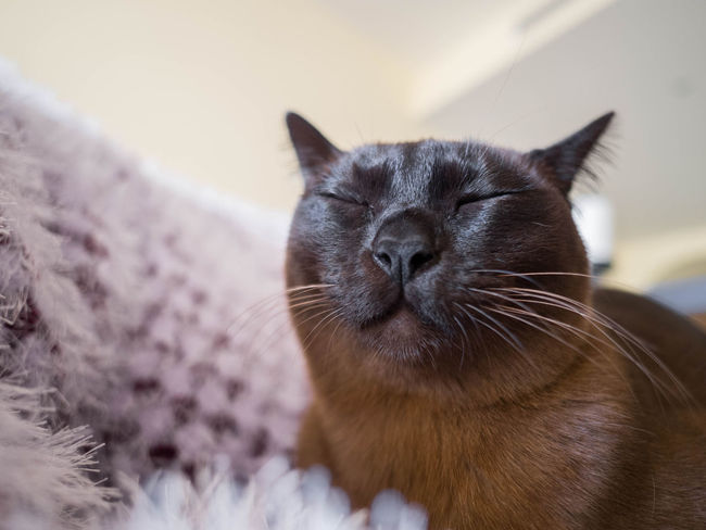 Whiskers Animal Themes Burmese Cat Close-up Day Domestic Animals Domestic Cat Feline Indoors  Mammal No People One Animal Pets Sleepy Whisker
