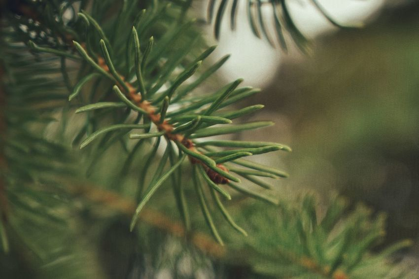 Growth Nature Green Color Pine Tree Close-up Plant Beauty In Nature Macro Photography The Great Outdoors - 2017 EyeEm Awards