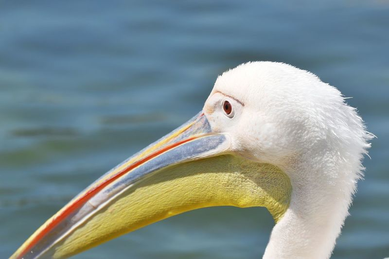 Beauty In Nature Nature Nature_collection Nature Photography Portrait Photography Week On Eyeem Fine Art Bird Beak Portrait Flamingo Closing Yellow Close-up Animal Body Part Pelican Preening Tropical Bird Animal Eye Confined Space Freshwater Bird HEAD Sea Bird