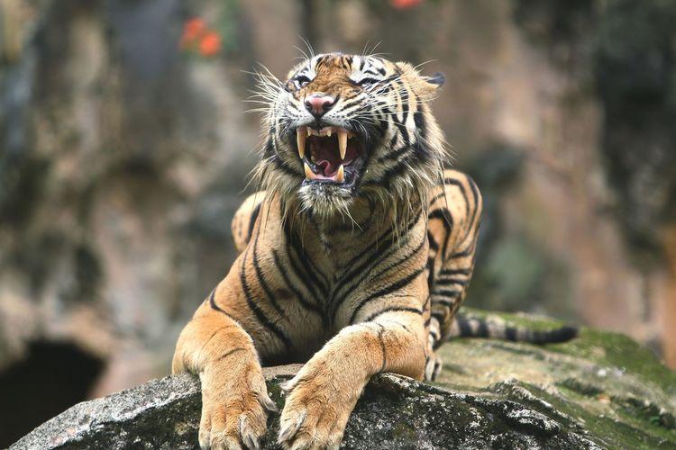 Roar on rock