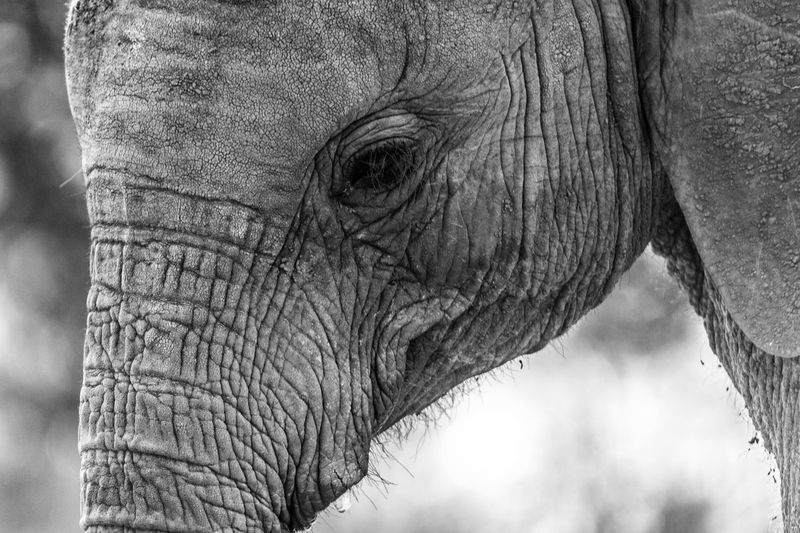 Animal Body Part Animal Themes Animal Wildlife Animals In The Wild Close-up Day Elephant Mammal Nature No People One Animal Outdoors
